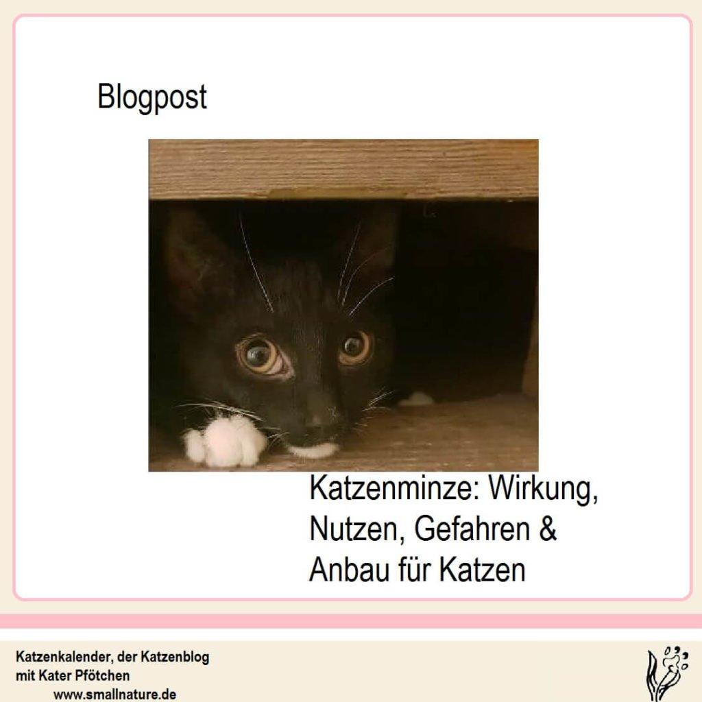 Katzenminze-wirkung-nutzen-gefahren-anbau